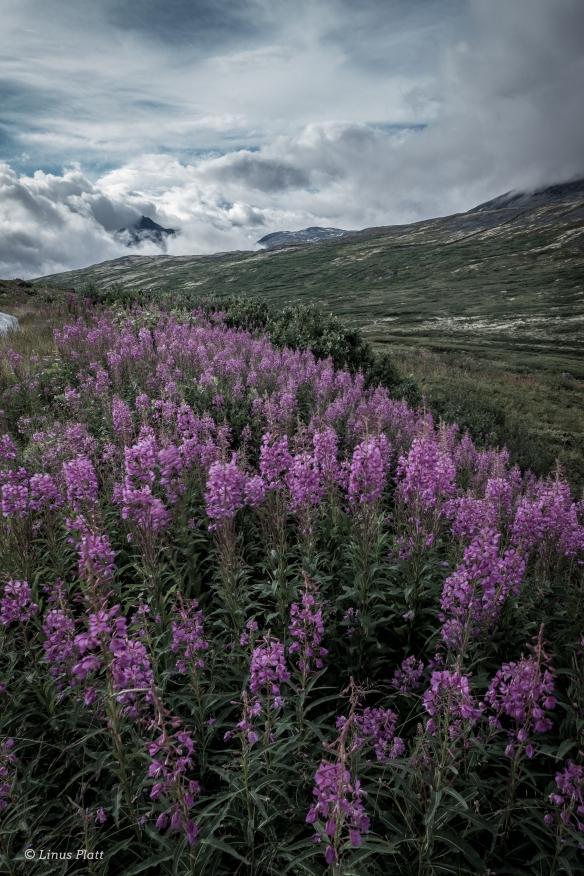 Yukon Fireweed