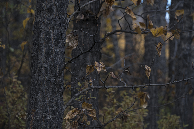 Golden Yukon-14